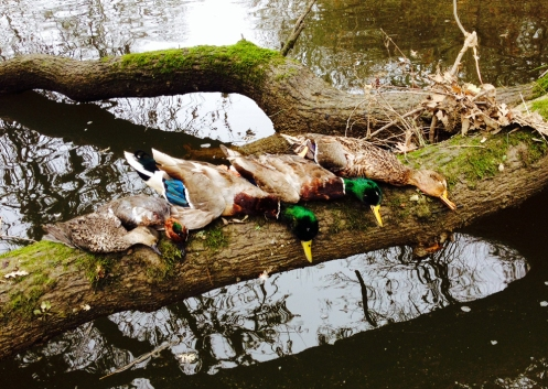 Ducks on a log will beat ducks on a tailgate every time.